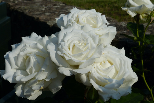 Blanches en roses !