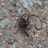 Xysticus sp ou Araignée Crabe Noire