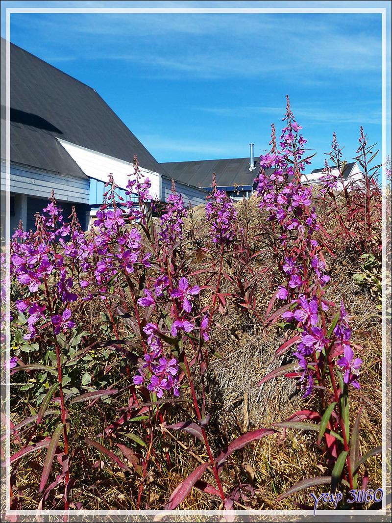 Épilobes à feuilles larges (Chamerion latifolium) - Sisimiut - Groenland