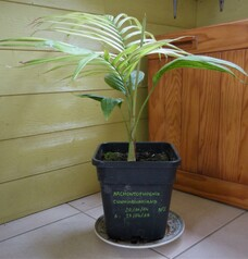Arcontophoenix cunninghamiana pot 2