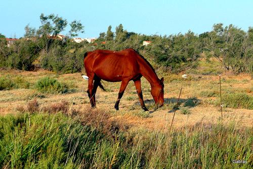 Barcarès : les chevaux ...