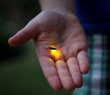 Bientôt nous n'aurons plus que le souvenir des lucioles ...