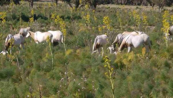 Les oryx