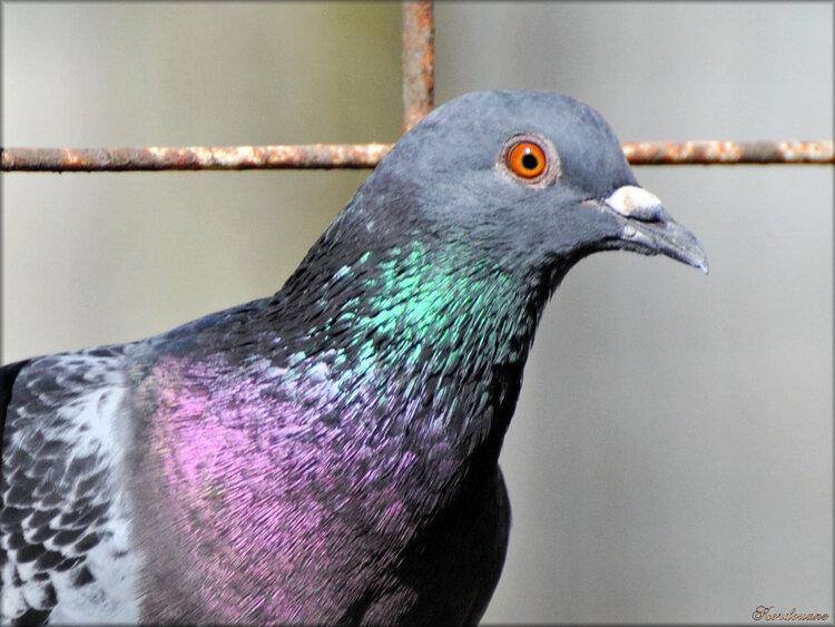 Photo de pigeon de biset (Parc du Moulineau)