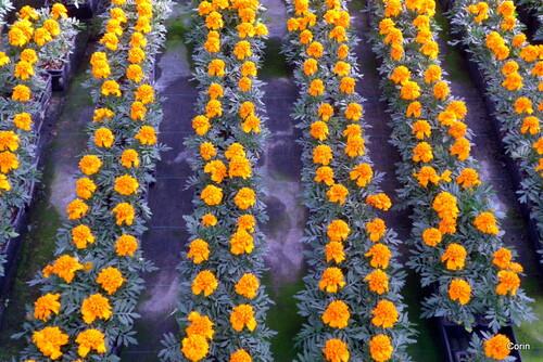 Des fleurs en jardinerie (1)