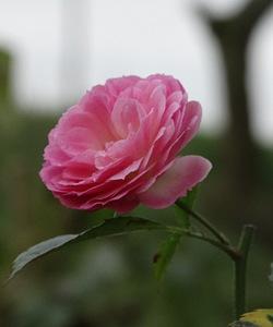 Quelques roses de la mi-novembre