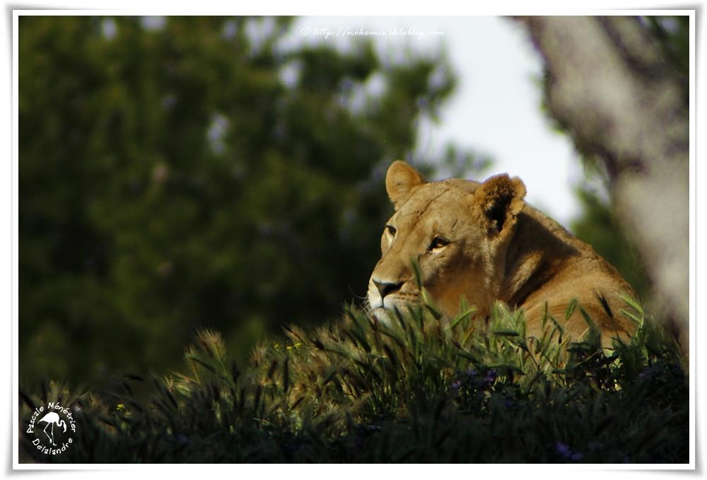 Lionne (Panthera leo)