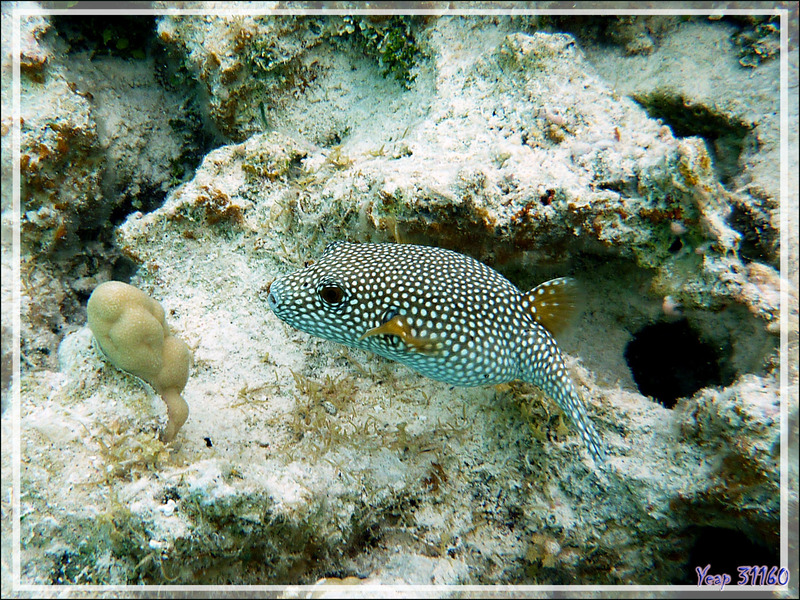 Poisson-ballon à taches blanches ou Tétrodon à épaules noires, White-spotted puffer or Stars-and-stripes pufferfish (Arothron hispidus) - Lagon de la Pension Kuriri - Maupiti - Polynésie française