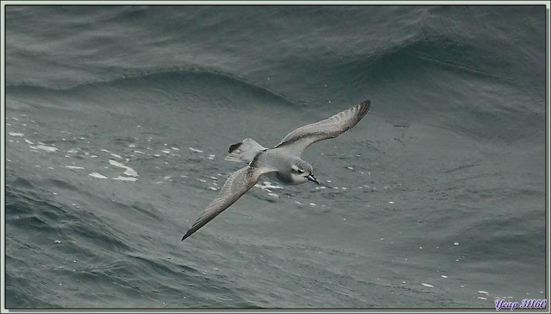 Prion de la Désolation, Antarctic Prion (Pachyptila desolata) - Géorgie du Sud