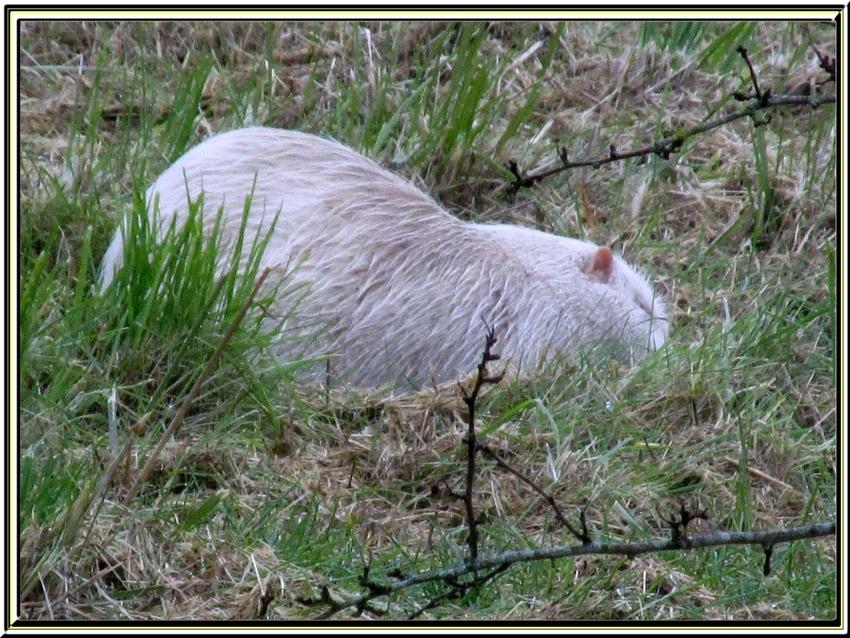 le ragondin albinos des marais de Rochefort