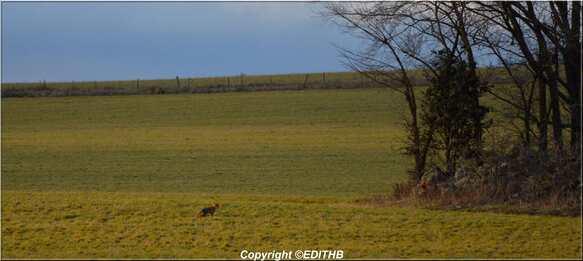 un renard dans un champs sur le larzac aveyron