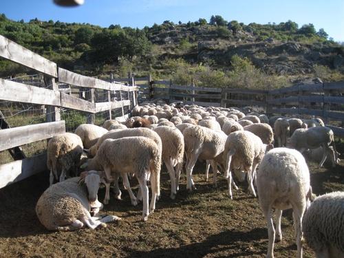 Départ des agneaux de la montagne