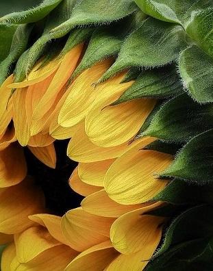 Fleur soleil ...