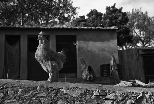 05 - Les poules de nos campagnes