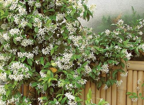 Fleurs cultivées : Jasmin