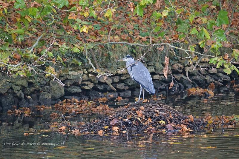 Parc du Château de Rambouillet : Un pêcheur solitaire, le héron cendré