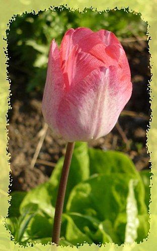 Bordure-tulipes--1-.jpg