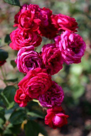 Les Roses de Warren : Ruffled Burgundy