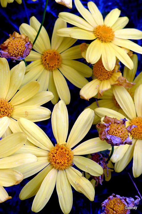 Leucate : des fleurs jaunes en décembre ...