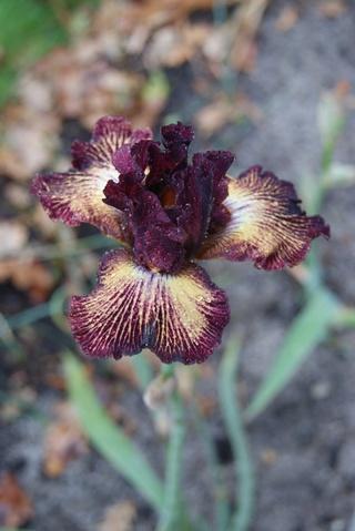 Iris remontant 'Double vision' (Ghio 1999) : floraison pour Noël