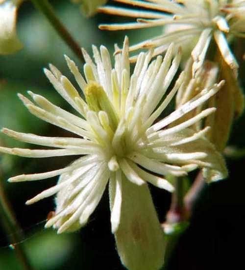 Vertus médicinales des plantes sauvages : Clématite des Haies