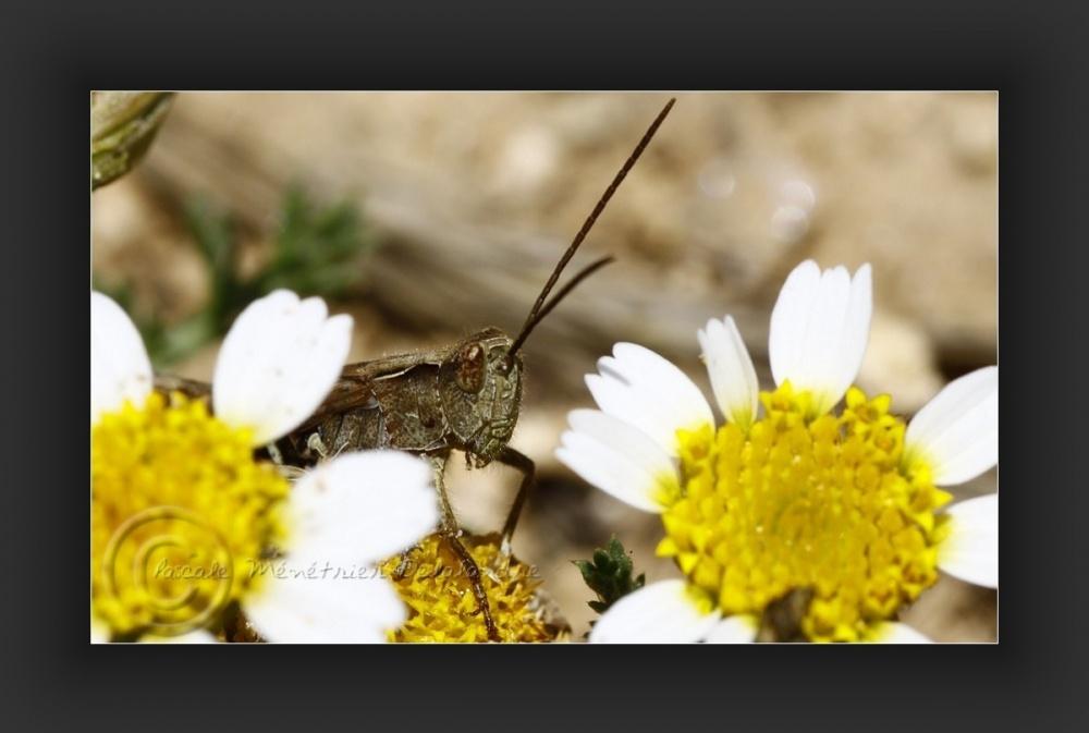Apparition d'une sauterelle...