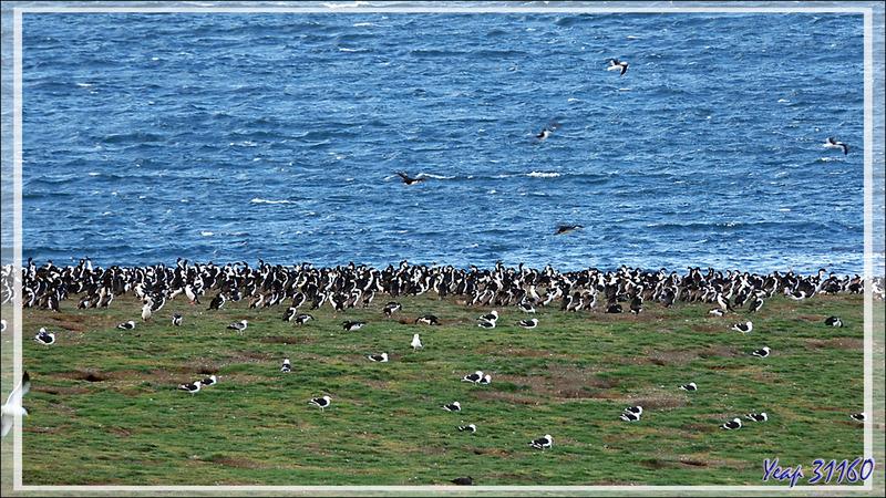 Arrivés tout en haut de la zone autorisée, au pied du phare, on a vue sur toute la zone occupée par les oiseaux - Île Magdalena - Patagonie - Chili