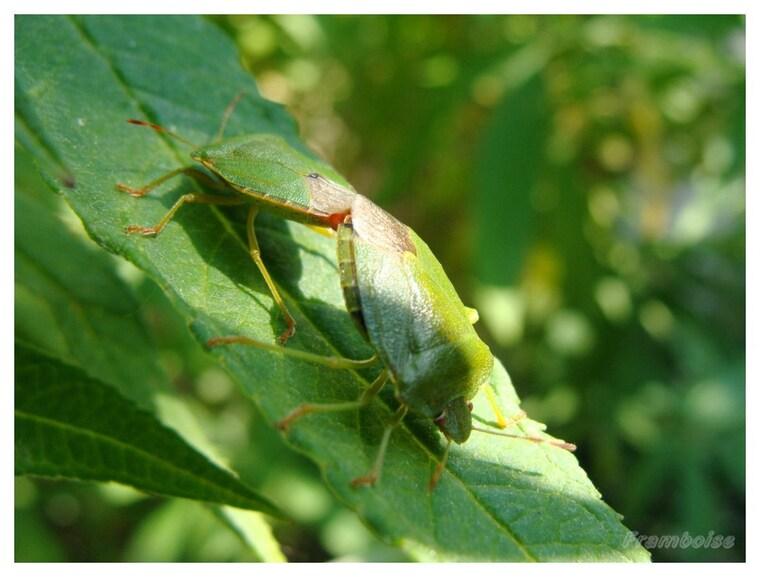 Les insectes s'accouplent aussi ...