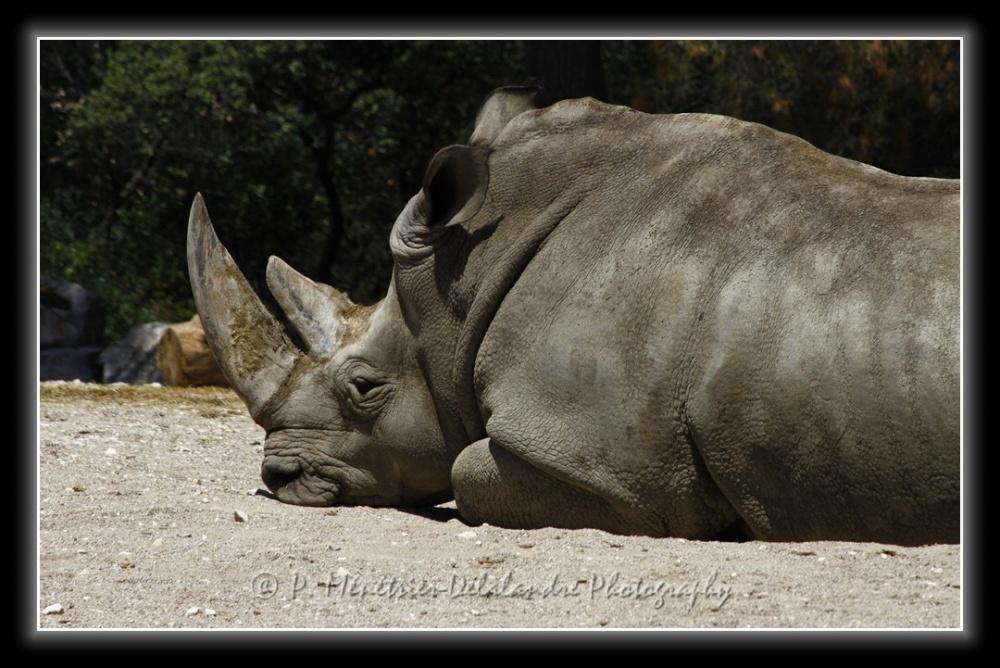 Rhinocéros...