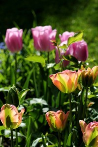 Tulipes Groenland8