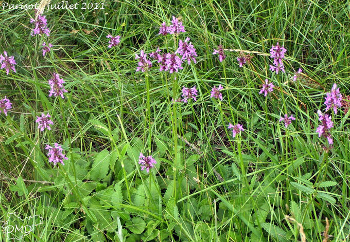 Stachys officinalis subsp. officinalis - betoine officinale