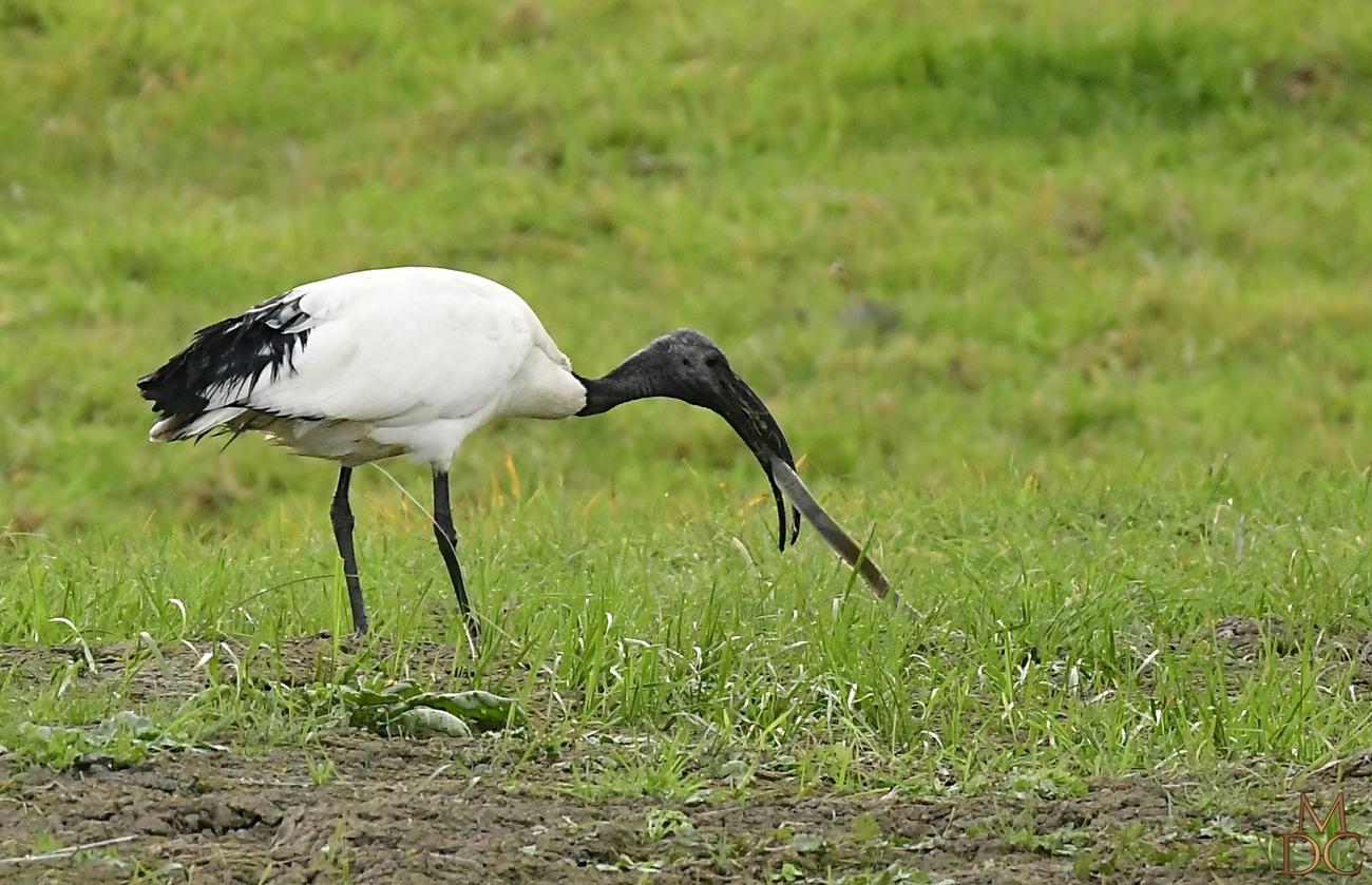 L'ibis et l'anguille...de Mr Jean de la Fontaine....