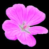 Géranium sanguin