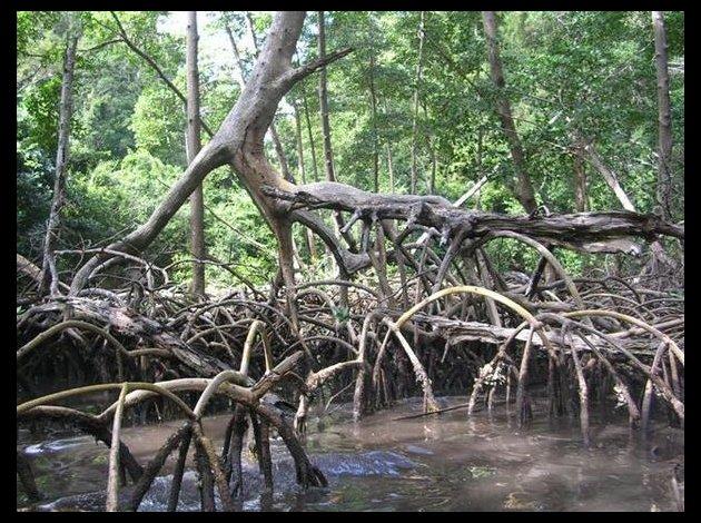 21-mangrove.jpg