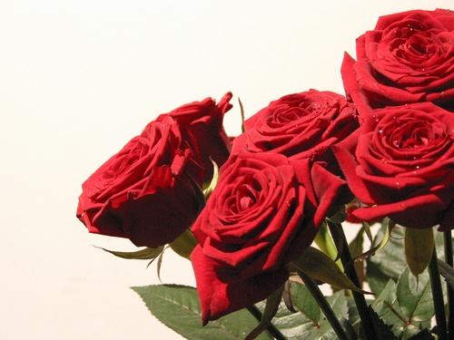 Pour toi des roses rouges