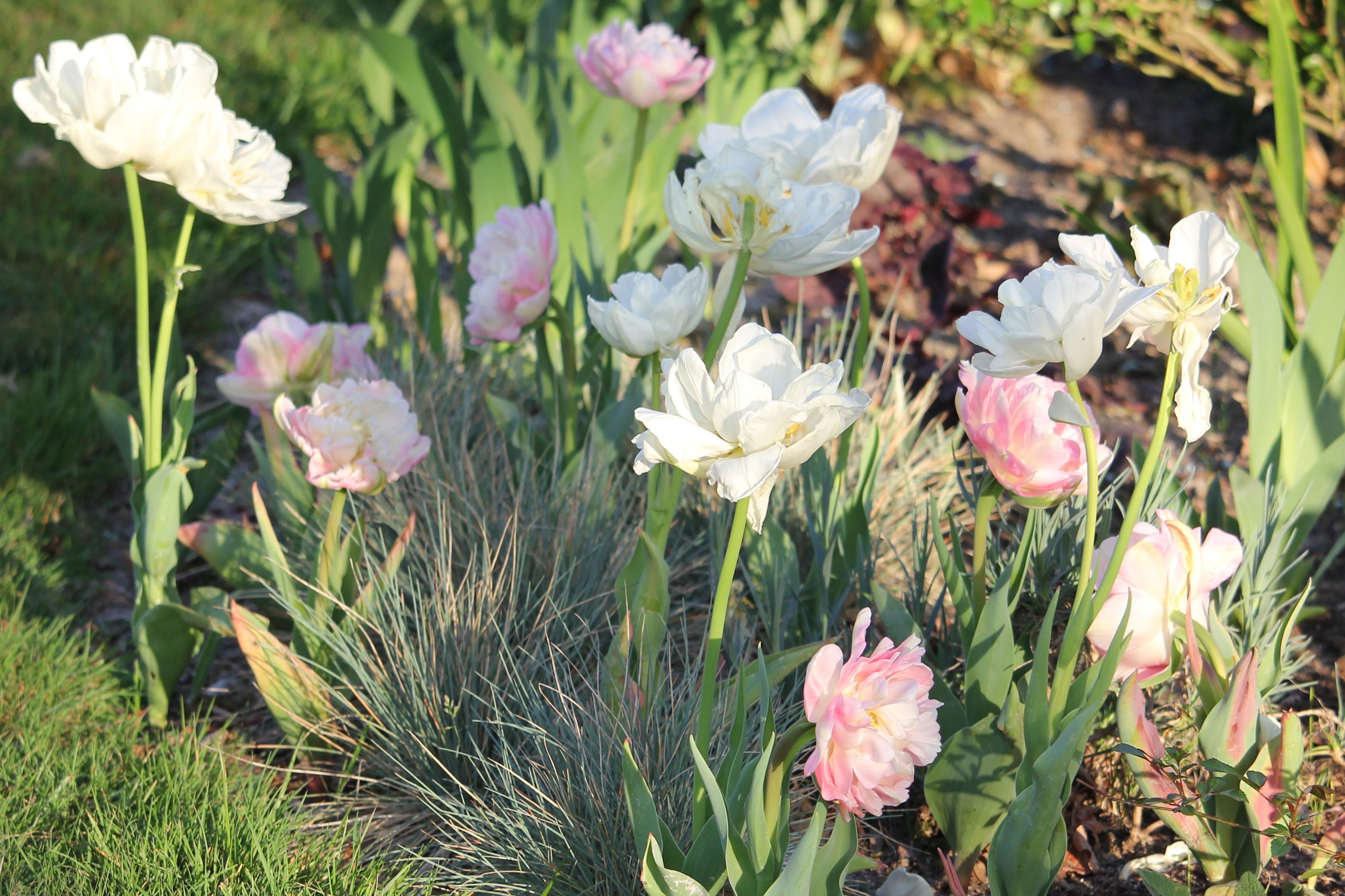 Tulipes doubles blanches et roses sur tapis de fétuques bleues