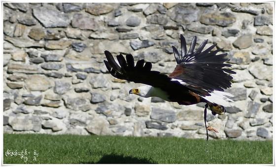 Pygargue vocifère - Haliaeetus vocifer - African Fish Eagle