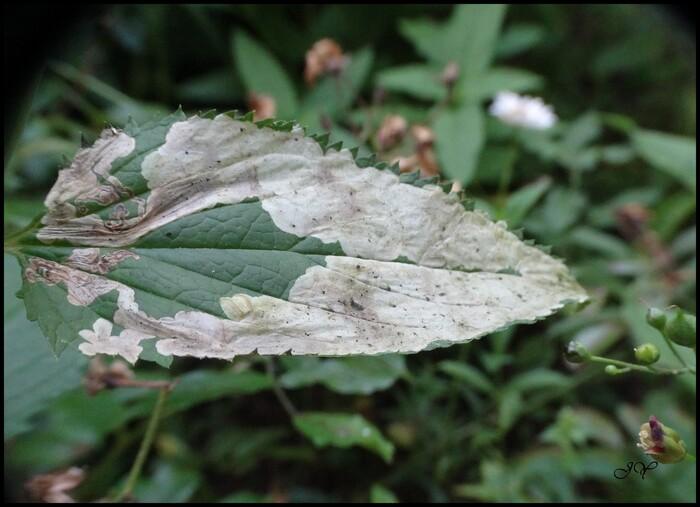 Amauromyza verbasci.