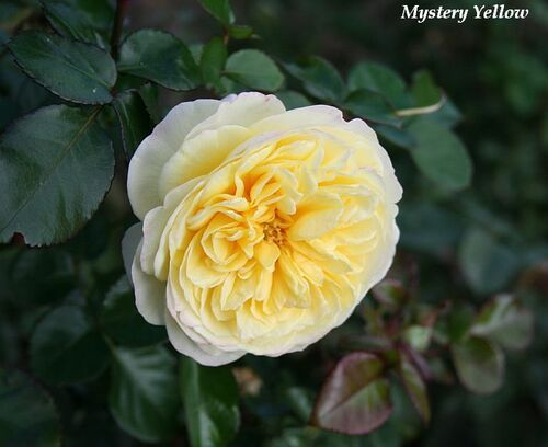 Les Roses de Warren : Mystery Yellow