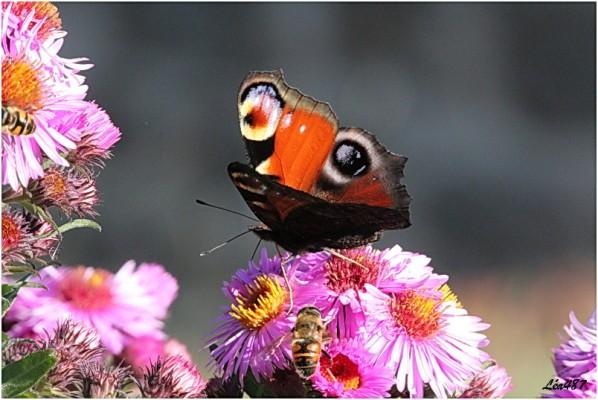 Papillons-2-2980-paon-du-jour.jpg