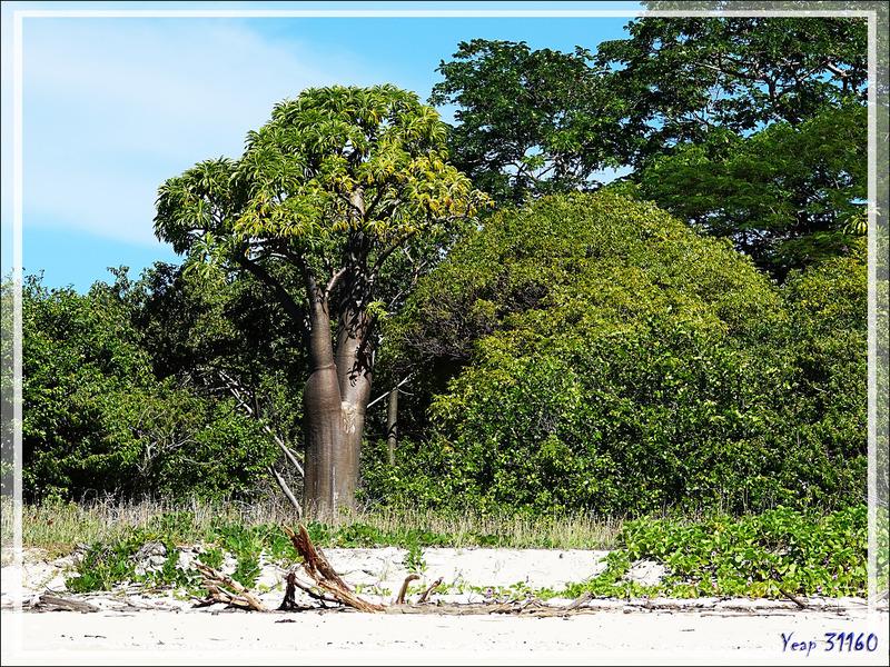 Baobab - Grande Mitsio - Madagascar