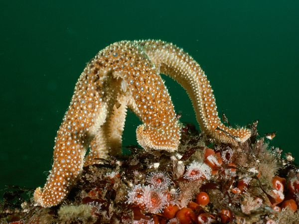 Photo: Sea star arching its back