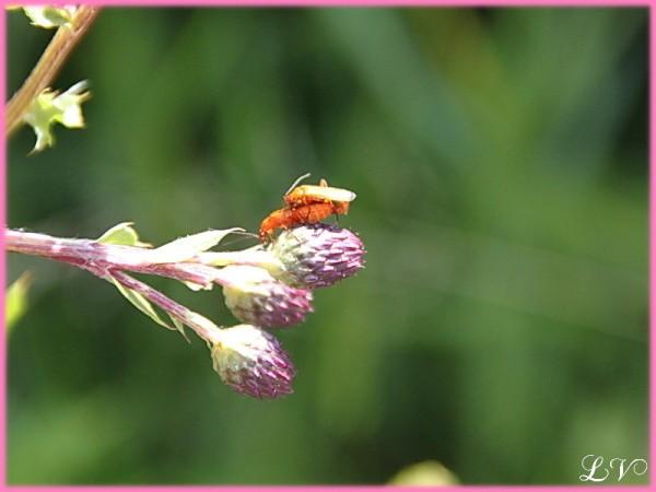 Insectes-2-0430-telephore-roux.jpg