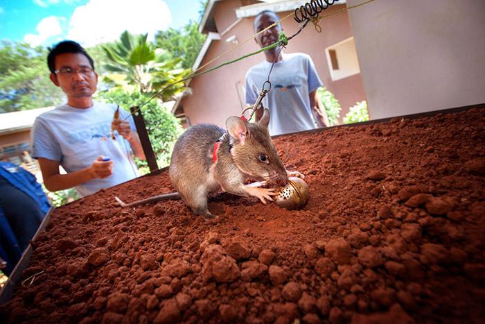Les rats n'explosent pas sur les mines, puisque le poids maximum de l'animal est de seulement un kilo et demi.