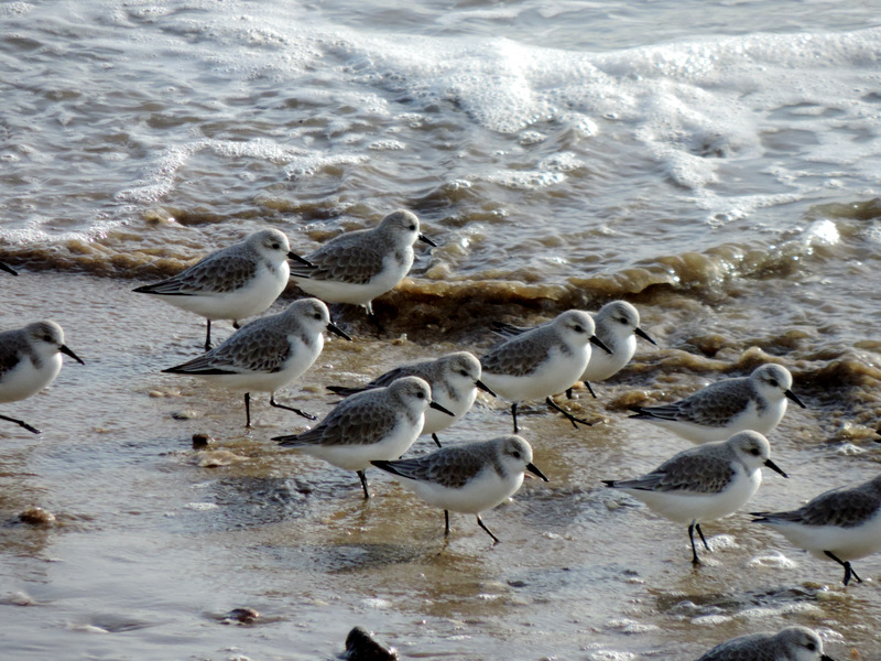 Becasseaux Sanderling