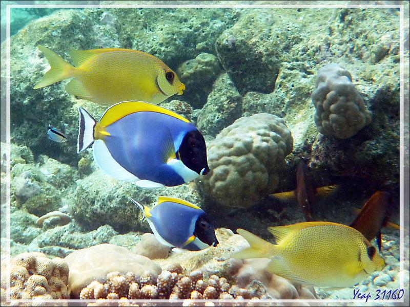 Snorkeling : Poisson-lapin tacheté ou à points bleus, Picot corail, Blue-spotted spinefoot (Siganus corallinus) - Moofushi - Atoll d'Ari - Maldives