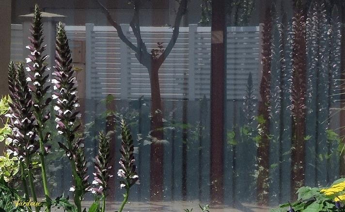 Les acanthes et leurs reflets