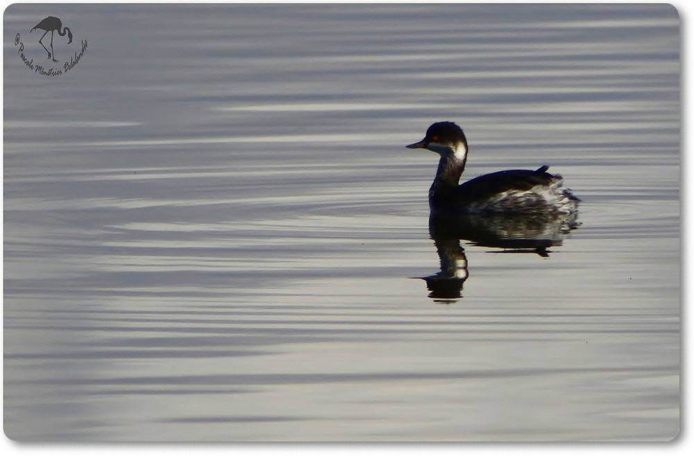 Grèbe à cou noir en plumage d'hiver...