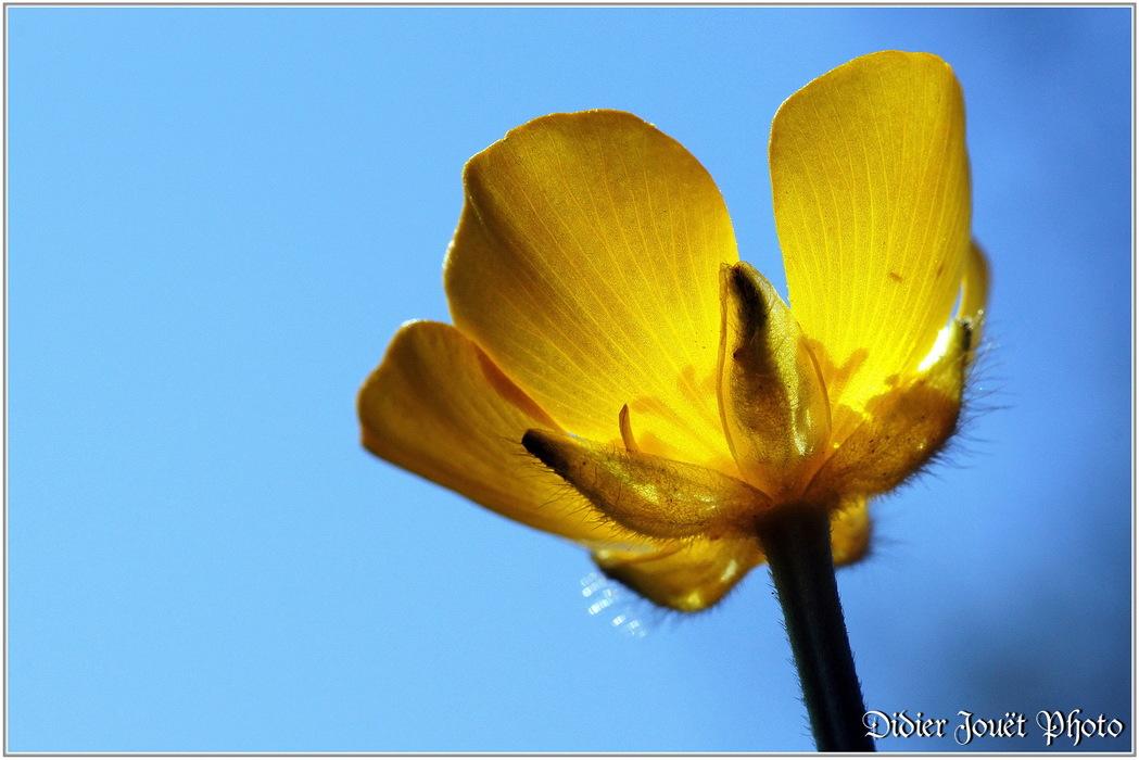Bouton d'Or / Ranunculus acris
