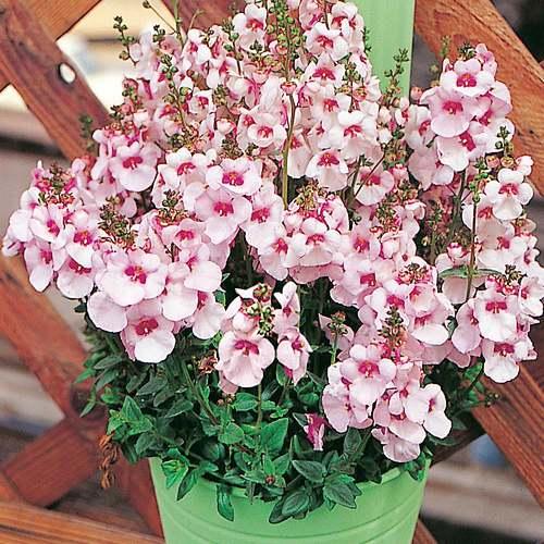 Fleurs cultivées : Diascia